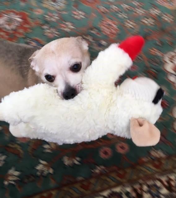 Stella - Chihuahua age 11. Adopted locally.